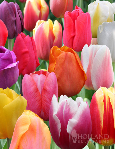 BULK Rainbow Mixed Tulips - 1000 Bulbs - 88078