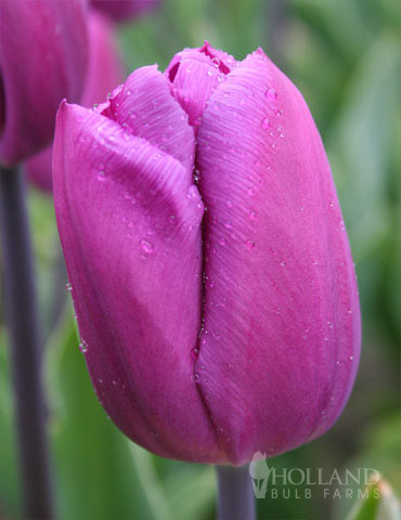 BULK Purple Triumph Tulips - 1000 Bulbs