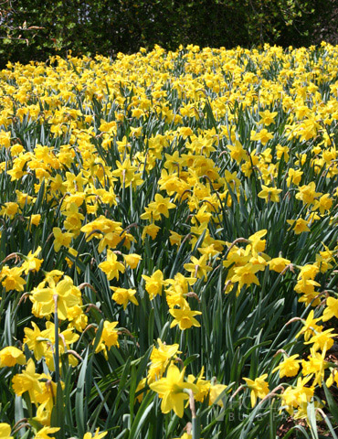 Wholesale Yellow Daffodils - 500+ Bulbs