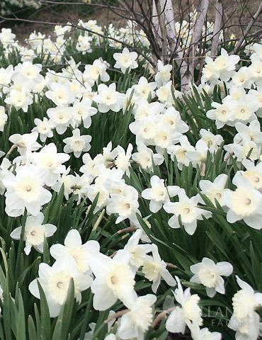 Wholesale White Daffodils 500+ (Mt Hood)