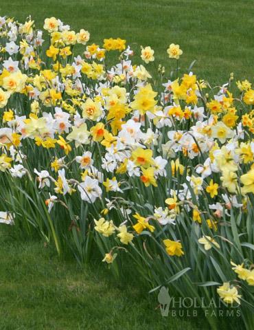 BULK Mixed Daffodils 225-250 bulbs - 82004