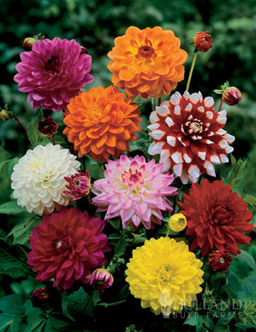 Mixed Unwin Dwarf Dahlias Value Bag