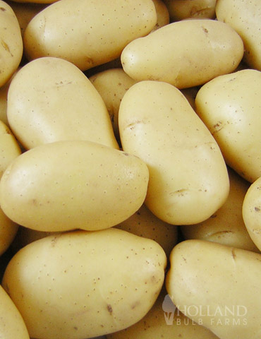 Mega Chip White Seed Potatoes (Kennebec) - 75100