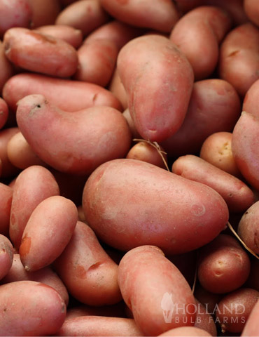 French Fingerling Organic Potatoes