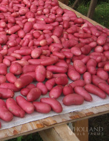 Rose Finn Fingerling Potatoes