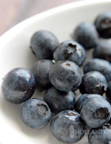 Jersey Blueberry Plant