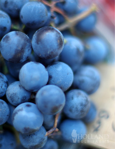 Blue Concord Grape Plant
