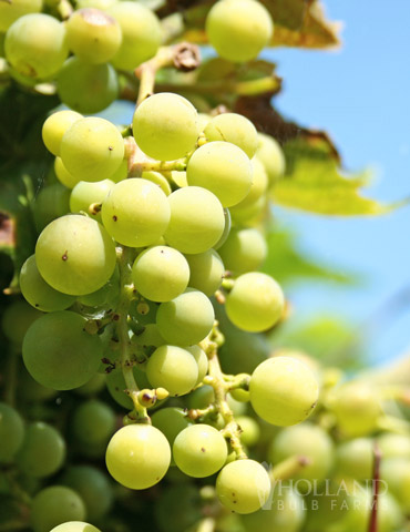 Niagara Green Grape Plant