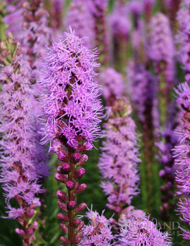 Liatris or Gayfeather Value Bag