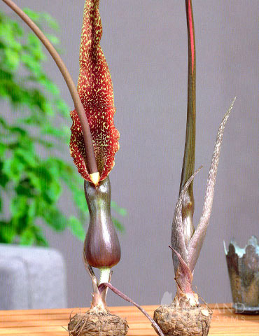 Arum Cornutum - Voodoo Lily
