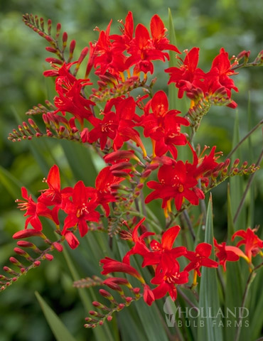 Montbretia or Crocosmia