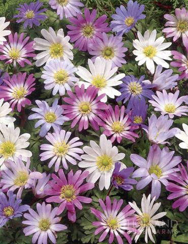 Grecian Windflower- Anemone blanda - 78133