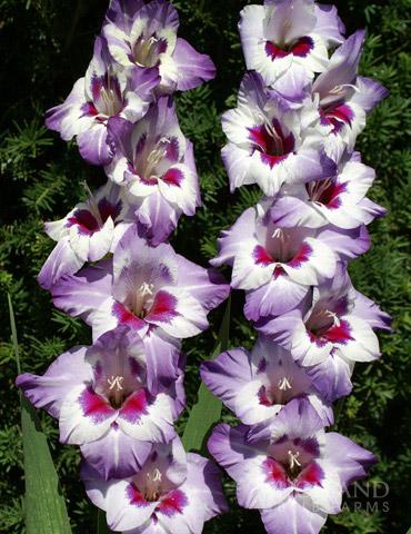 Vista Hybrid Gladiolus