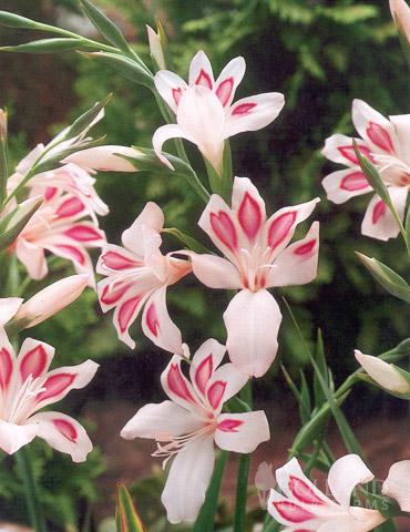 Impressive Hardy Miniature Gladiolus - 76143