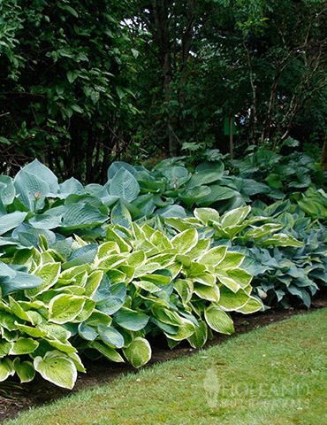 Mixed Hosta Value Bag
