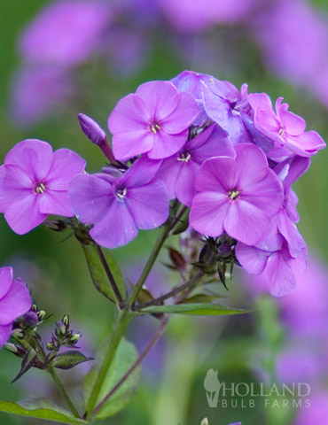 Lilac Time Tall Phlox