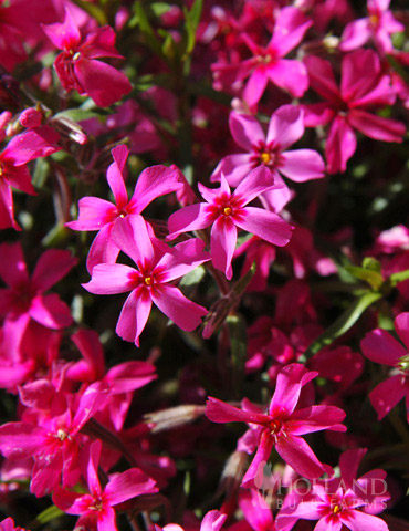 Star Fire Tall Phlox