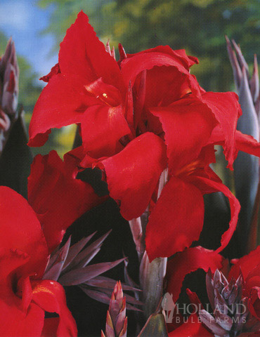 Black Knight Tall Canna