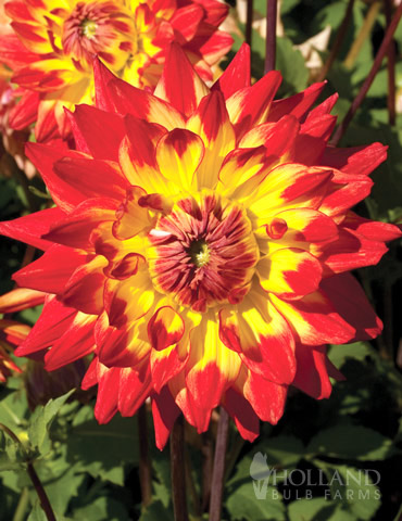 Procyon Decorative Dahlia - 74158