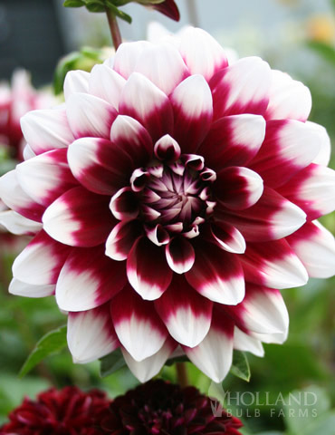 Mystery Day Decorative Dahlia