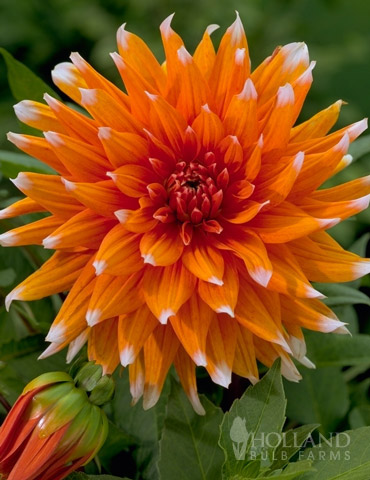 Color Spectacle Dahlia Jumbo Pack