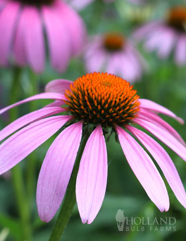 Magnus Purple Coneflower - 77255