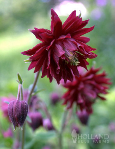 Ruby Port Columbine - 77384