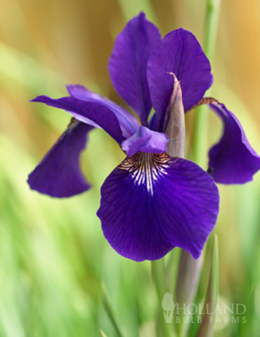 Ruffled Velvet Siberian Iris