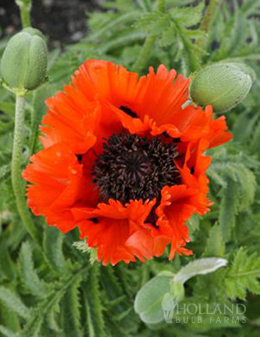 Turkenlouis Oriental Poppy - 77370