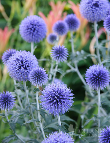 Veitch's Blue Globe Thistle - 77376
