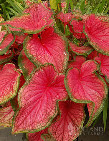 Sweetheart Caladium