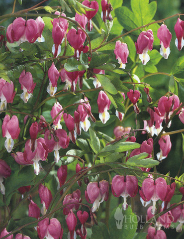 Pink Bleeding Hearts Value Pack