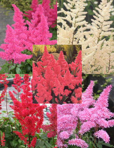 Mixed Astilbe Value Bag