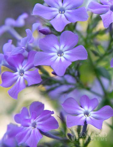Paars Tall Garden Phlox