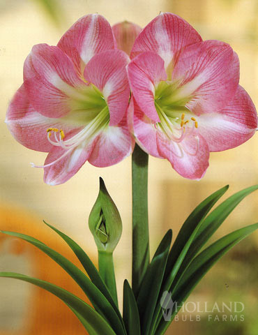 Giant Charming Amaryllis Kit