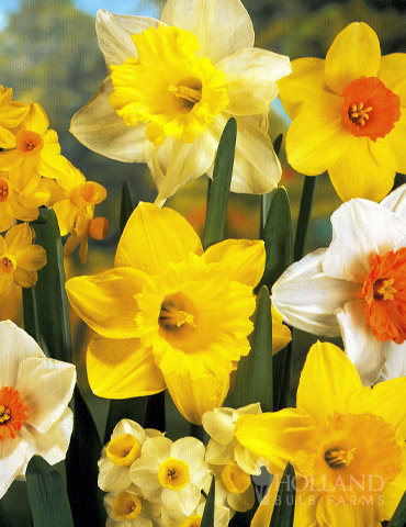 Mixed Daffodil Value Bag (8 bulbs)