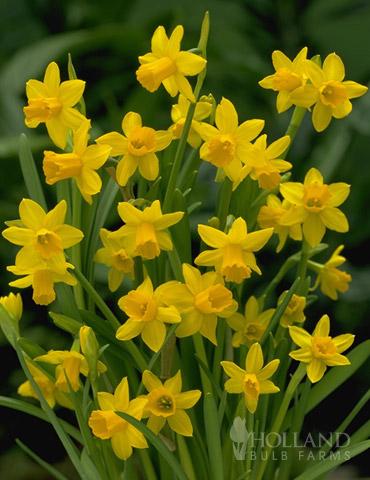 Tete A Tete Daffodil Jumbo Pack