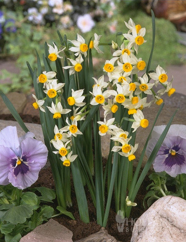 Canaliculatus Daffodil Jumbo Pack
