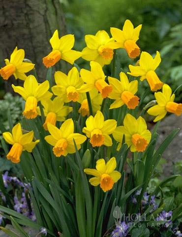 Jetfire Daffodil Jumbo Pack