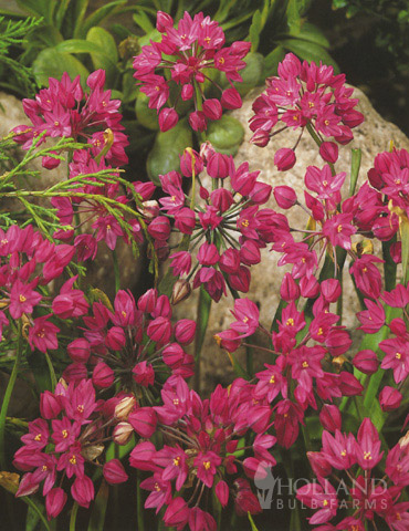 Ostrowskianum Allium Jumbo Pack allium oreophilum, dutch allium bulbs, allium for sale, late spring flowers, alliums for rock gardens, pink lily leek