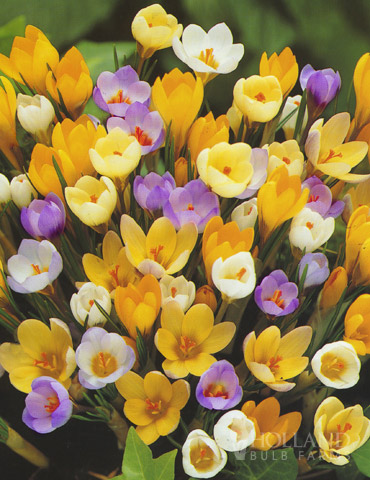 Mixed Botanical Crocus Jumbo Pack - 83107