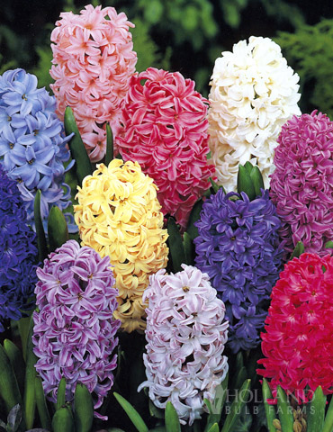Giant Mixed Hyacinths - 15 bulbs