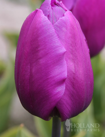 Purple Prince Single Early Tulip - 88116