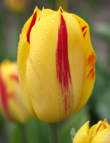 Washington Triumph Tulip