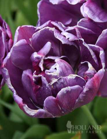 Blue Spectacle Double Early Tulip