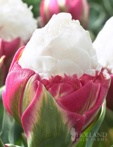 Ice Cream Double Late Tulip