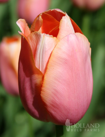 Menton Single Late Tulip