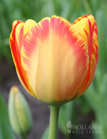 Banja Luka Darwin Hybrid Tulip