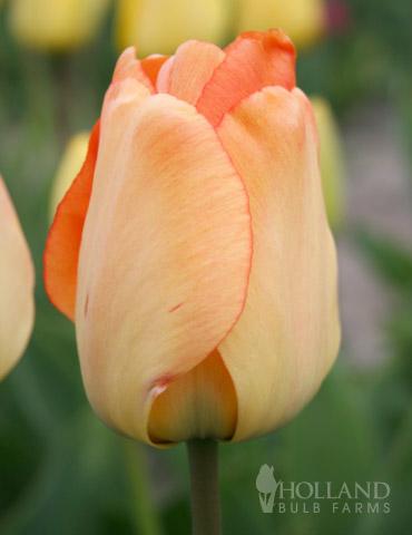 Daydream Darwin Hybrid Tulip