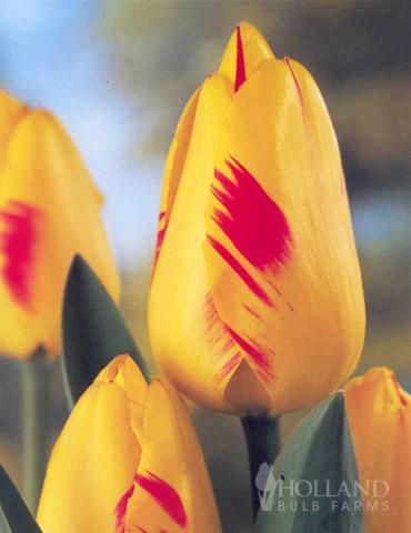 Juliette  Darwin Hybrid Tulip